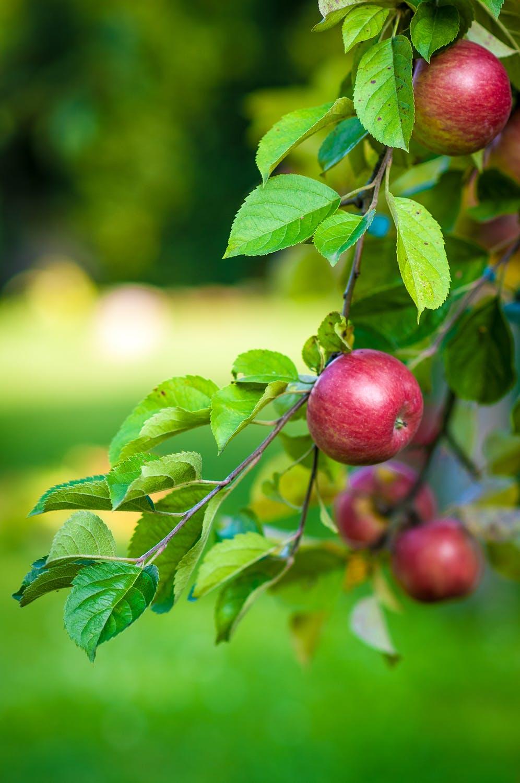 Goebbert's apple trees